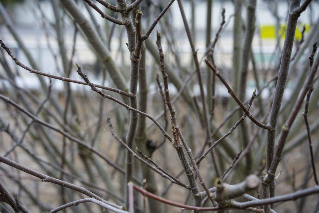 Higuera con ramas desnudas