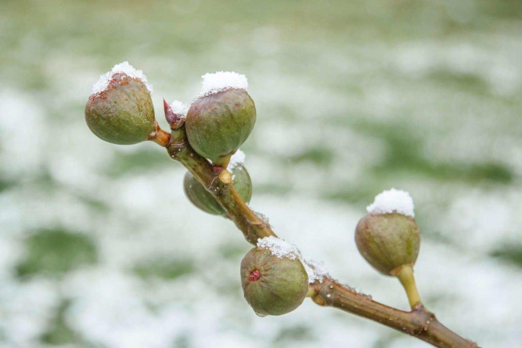Higos en el árbol con nieve y hielo.