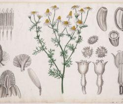 Botánica de manzanilla 2