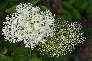 La época de floración del saúco es entre finales de mayo y junio.