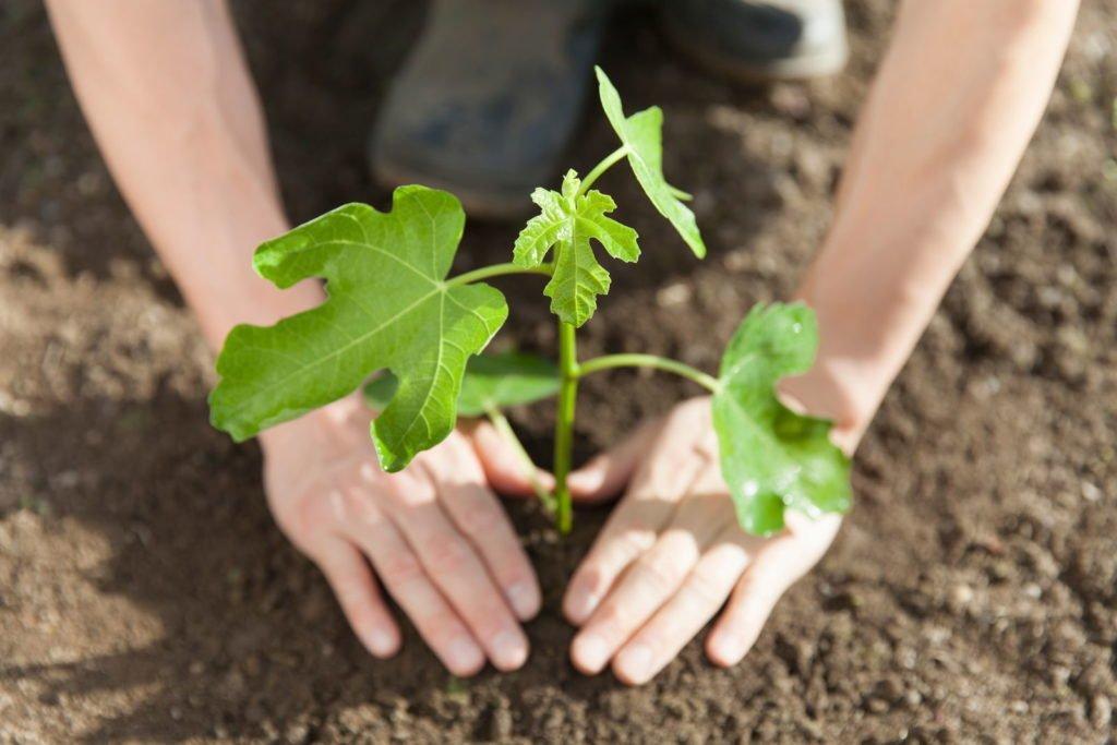 La higuera joven se planta en el suelo con las manos.