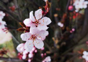 flores de cerezo ornamental